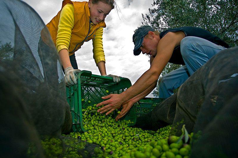 new harvest 2020-2021 olive oil