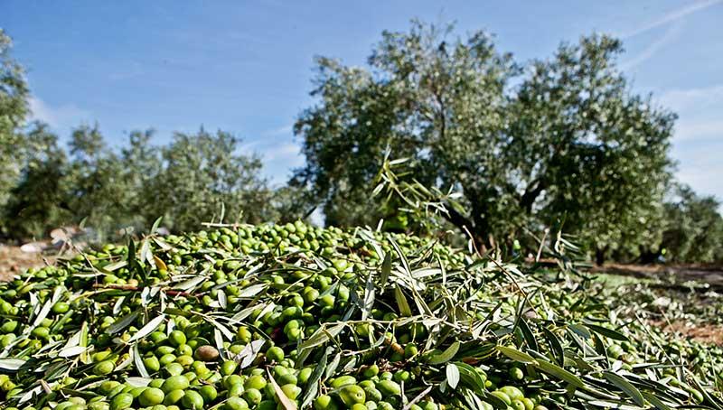 aceitunas en la Vía verde del aceite de Jaén