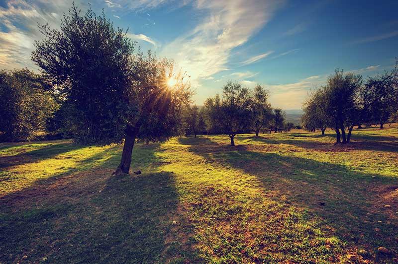Olivos cultivados en tierra de la provincia de Jaén
