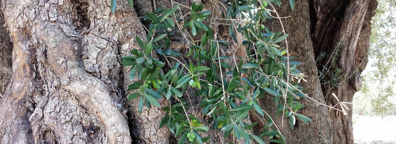 Aceite Oliva Online tronco olivo