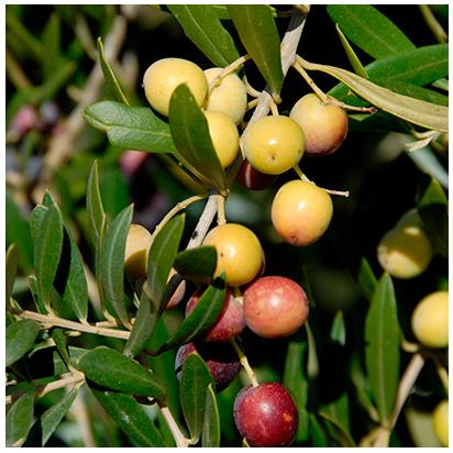 aceitunas de aceite verde esmeralda de jaen